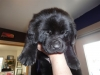 Here is our new Newfoundland puppy that is 4 weeks old. We will go to Missoula next month and get him. The cats will love him :-))